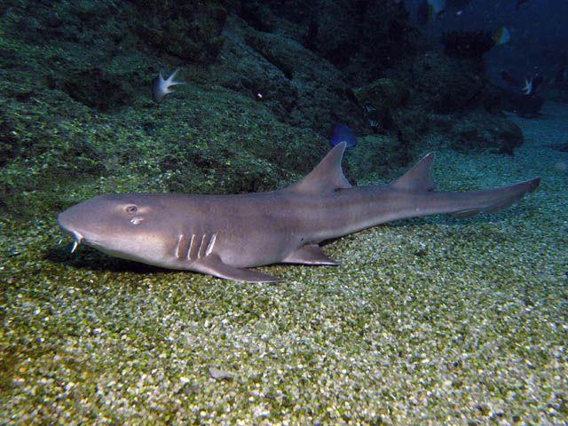 Carpet Sharks