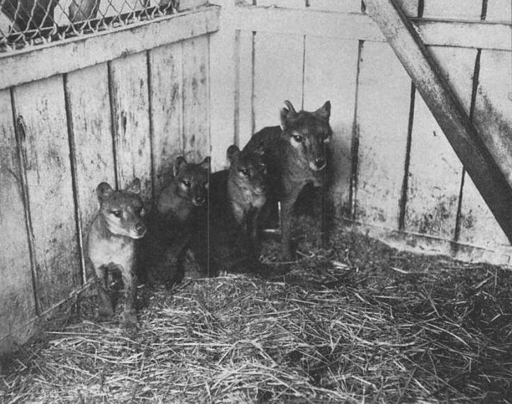 """* Tilacino e filhotes *  (Thylacinus cynocephalus). """"Lobo-da-Tasmânia""""; """"Tigre-da-Tasmânia"""".  EXTINTO!"""
