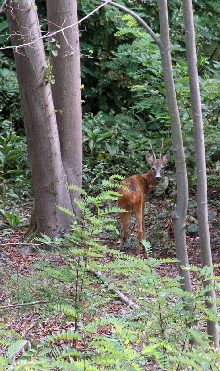 Capriolo nei boschi di Borgosesia, Valsesia, Piemonte.