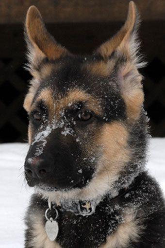 German shepherd pup in the snow. Adorable!
