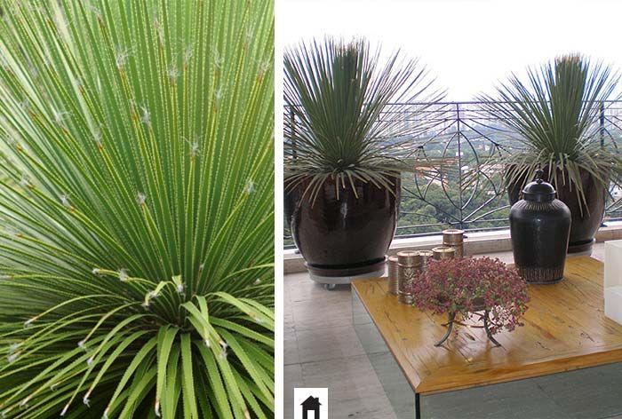 Dasilírio, conheça esta e mais 25 plantas resistentes ao sol.