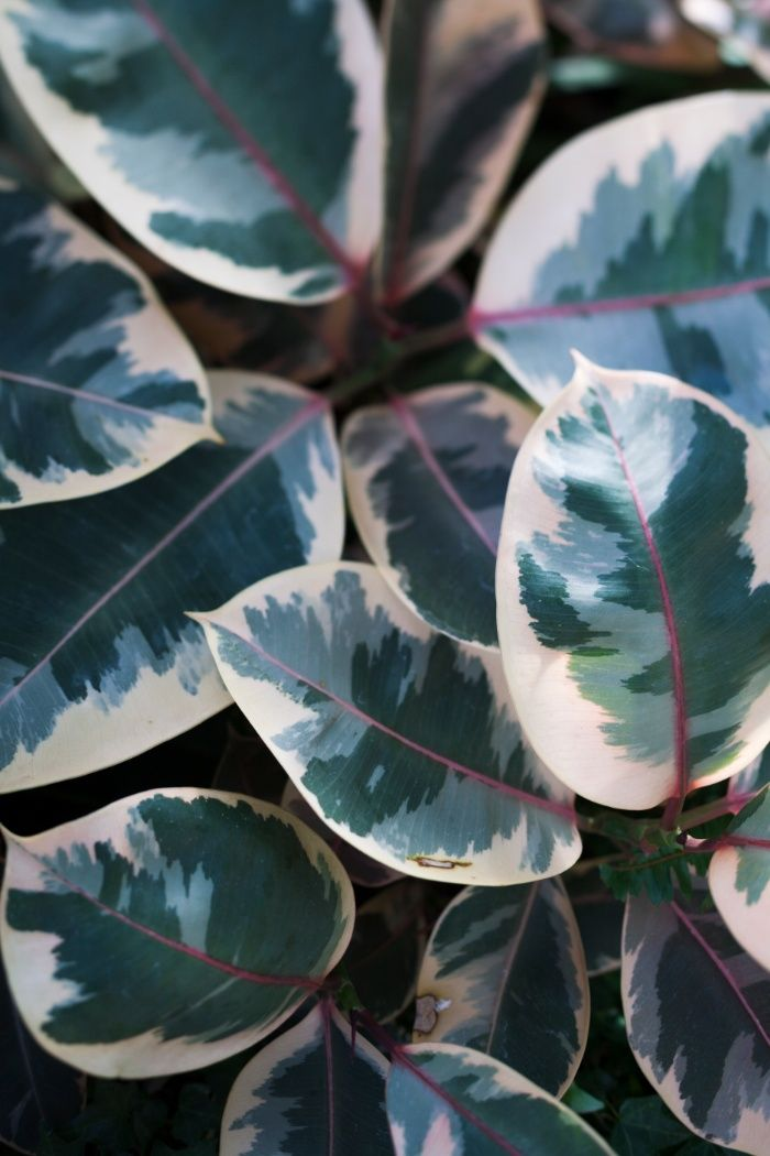 Ficus elastica 'Ruby'  //  Rubber-Plant  // The Botanical Series Art Print  //  #longwoodgardens
