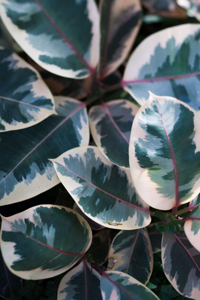 Die besten 25 ficus ideen auf pinterest ficusbaum - Ficus elastica cuidados ...
