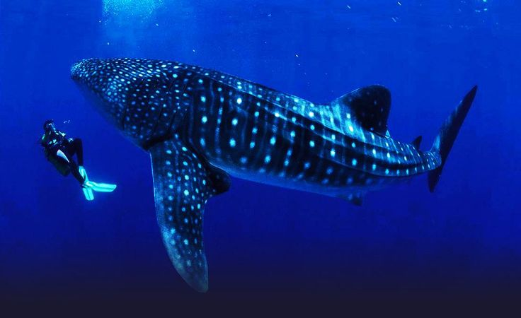Donsol in the Philipines is known as the Whale Shark Capital of the world. Whale Sharks are the largest fish in the sea. Despite their massive size these sharks are harmless and feed on plankton and small fish. Diving with these Gentle Giants will be an incredible experience! I can hardly wait till spring!