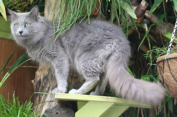 Russian Blue Cats Long Hair Nebelungs Are Mild Soft Spoken And