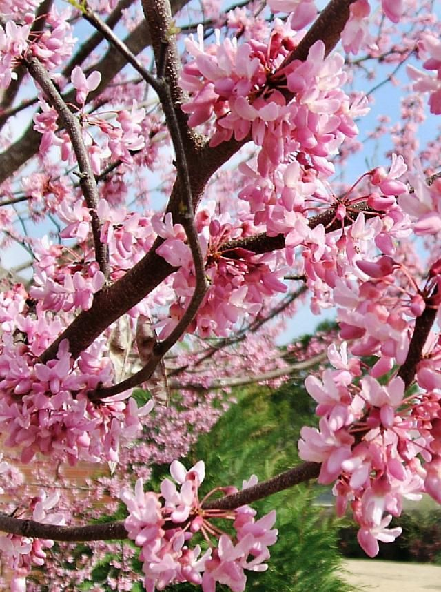 Here Is A List Of The 10 Best Trees For Your Small Yard. Patio TreesPink  Flowering ...