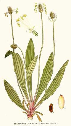 Plantago lanceolata (plantain) - more great goat medicine and they adore it.