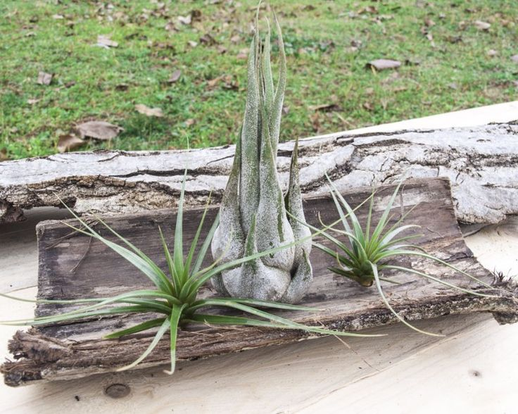 Terra Verde #Tillandsia #Airplants #Tropical #Forest #Collection