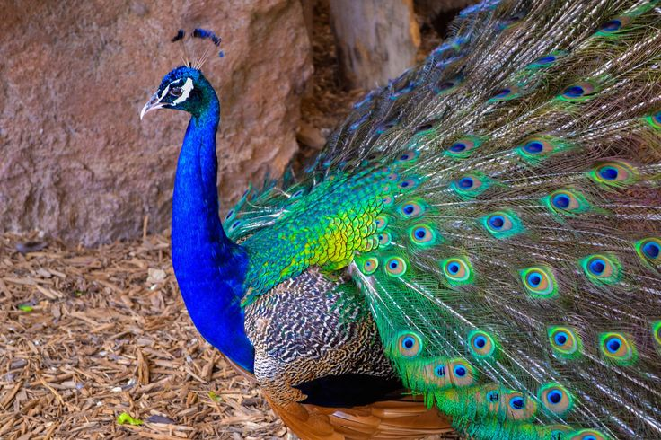 peacock desktop background pictures free