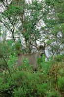 La conservación de los grandes mamíferos en el páramo es crítica, debido al deterioro del hábitat; sin embargo, en algunas reservas naturales se observan poblaciones reducidas de venado coliblanco, Odocoileus virginianus.