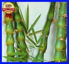 "♥♤ #50 Seeds Buddha's #Belly Bamboo-Bambusa Vulgaris ""Wamin"" Ventricosa Ver... Shop now! http://ebay.to/2silxK8"