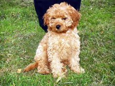 Cavapoo Full Grown Full grown cavoodle Juliet