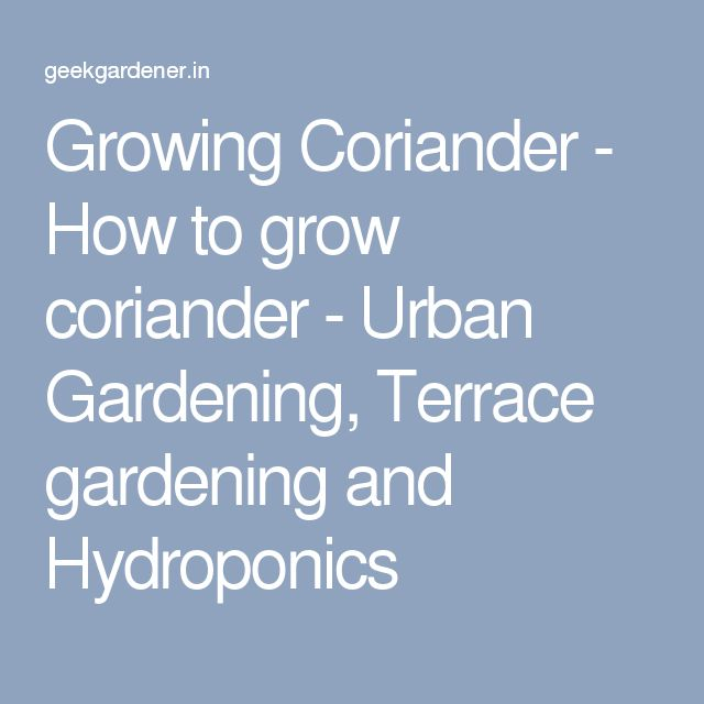 Growing Coriander - How to grow coriander - Urban Gardening, Terrace gardening and Hydroponics