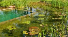 All About Natural Swimming Ponds and Pools. #naturalswimmingpools #naturalswimmingponds #backyardoasis