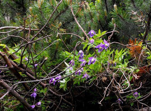 Curpen de munte (Clematis alpina). Flori mov de munte