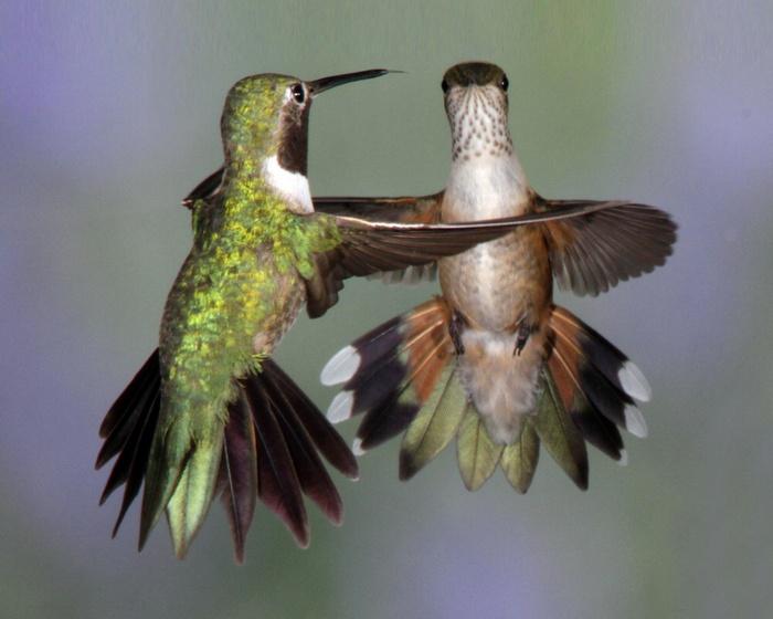 Broad-tailed hummingbirds by Jerry Goffe, via Audubon Magazine: Awesome Animal, Audubon Magazines, Broadtail Hummingbirds, Defin Dance, Jerry Goff, Broad Tail Hummingbirds, Dance Hummingbirds, Feathers Friends, Hummingbirds Haven