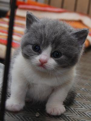 Cute British Shorthair kitten