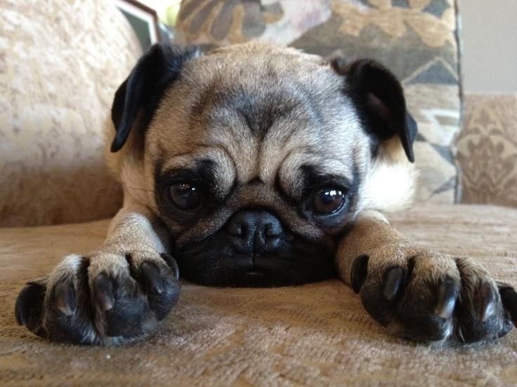 The cutest pug in the world! My little lulu love