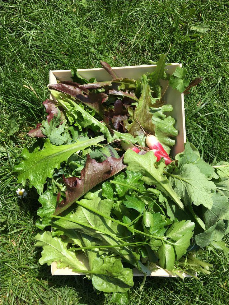Récolte d'une parcelle de potager entretenu dans la ferme urbaine Peas&Love