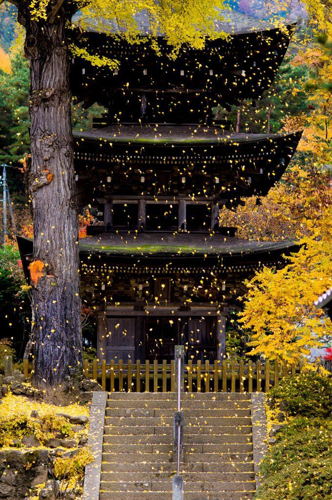 イチョウ吹雪の画像(写真) Ginko leaves blowing in the wind at Zensan Temple, Nagano, Japan.