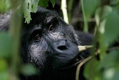 Passage To Africa - Bwindi impenetrable Forest - Uganda #Gorillia