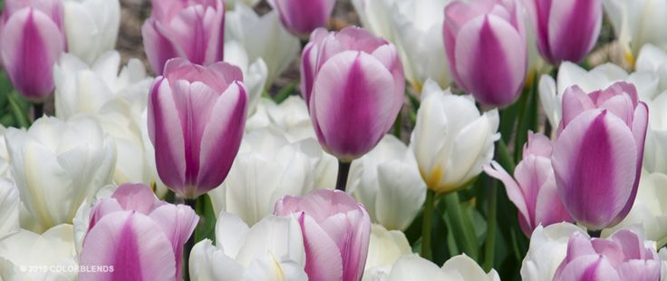 100 Bulbs Pre-Ordered for 2012 - Tulip Short Wave ™   Colorblends of Tulips Bulbs for Sale   COLORBLENDS