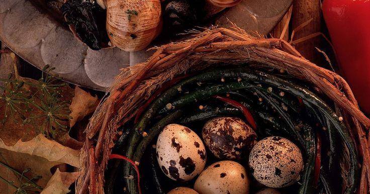 Como chocar ovos de codorna?. Para chocar ovos de codorna com sucesso existem algumas necessidades. Esses ovos são pequenos, contam com pequenas pintas, e podem ser comprados em uma fazenda local ou em lojas especializadas que vendem ovos para serem chocados. Pode ser uma experiência recompensante chocá-los, mas antes de começar o processo, é necessário ter o equipamento ...