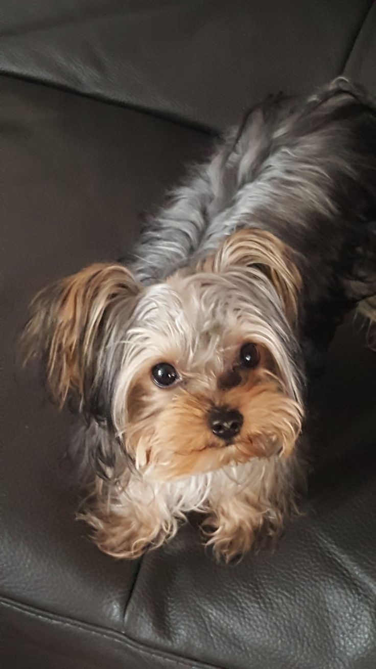 "Yorkshire Terrier ""Mini"""