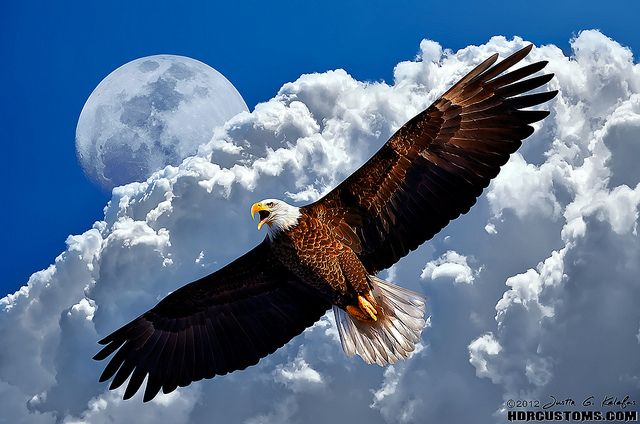 American Bald Eagle in flight calling over DuPuis Management Area | Flickr - Photo Sharing!