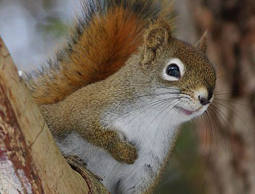 Best 25  American red squirrel ideas only on Pinterest | What does ...