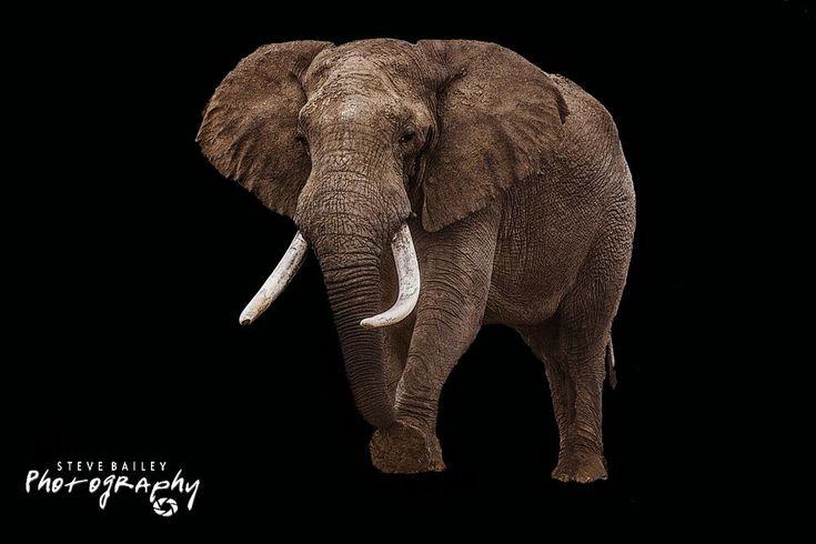 the lone Bull Elephant  by SteveBailey