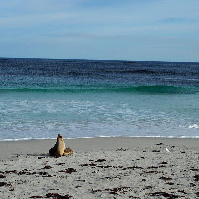 Well hellooooo over there! Walking amongst the Australian Sea Lions at Seal bay was a highlight of Kangaroo Island!