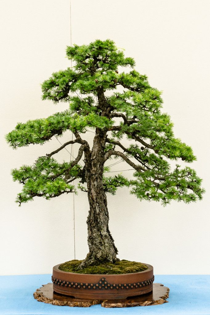 europ ische l rche larix decidua in m nchen 2014 bonsai b ume pinterest garten. Black Bedroom Furniture Sets. Home Design Ideas