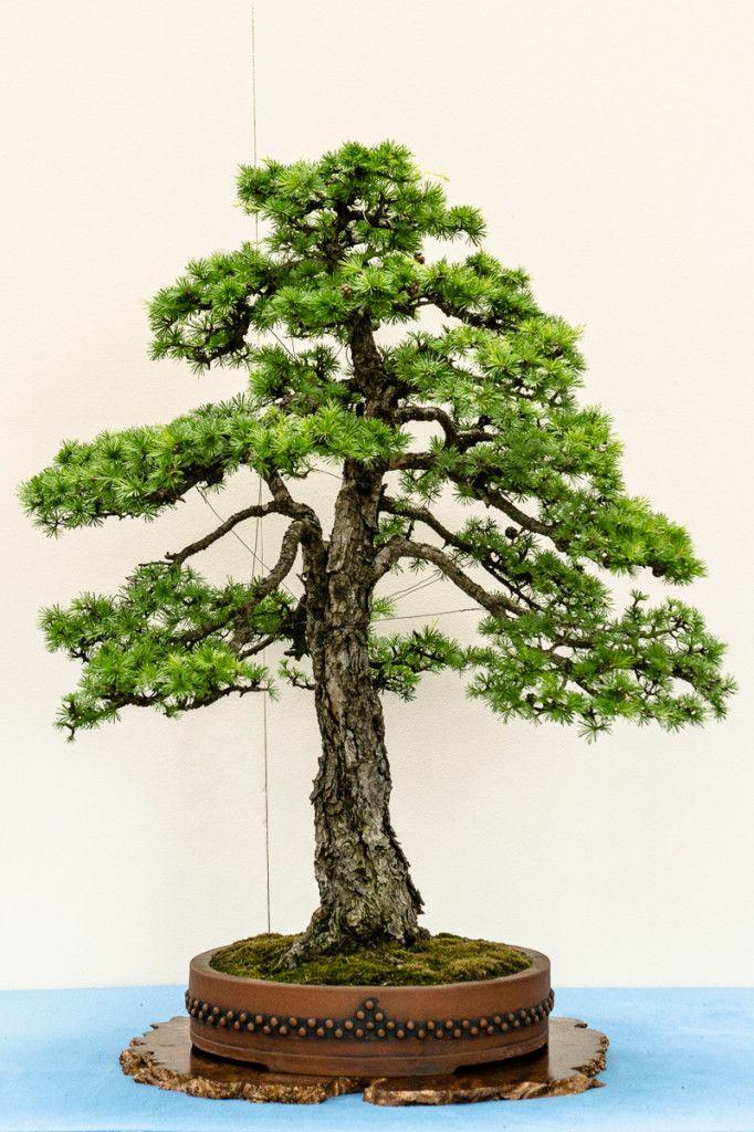 europ ische l rche larix decidua in m nchen 2014 bonsai b ume pinterest garten. Black Bedroom Furniture Sets. Home Design Ideas