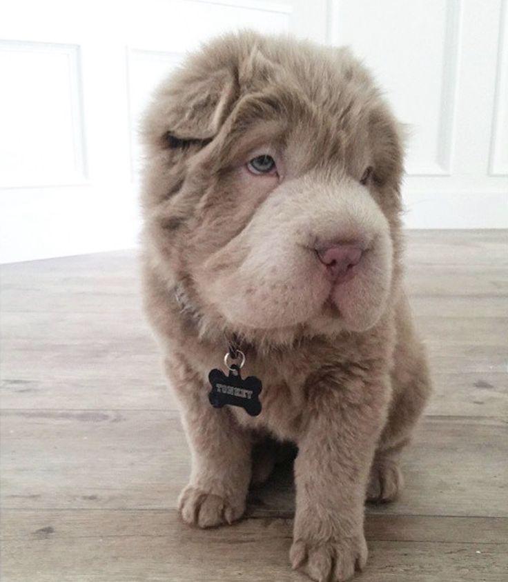 Tonkey the bear-coat Shar Pei | woof | Pinterest | Shar