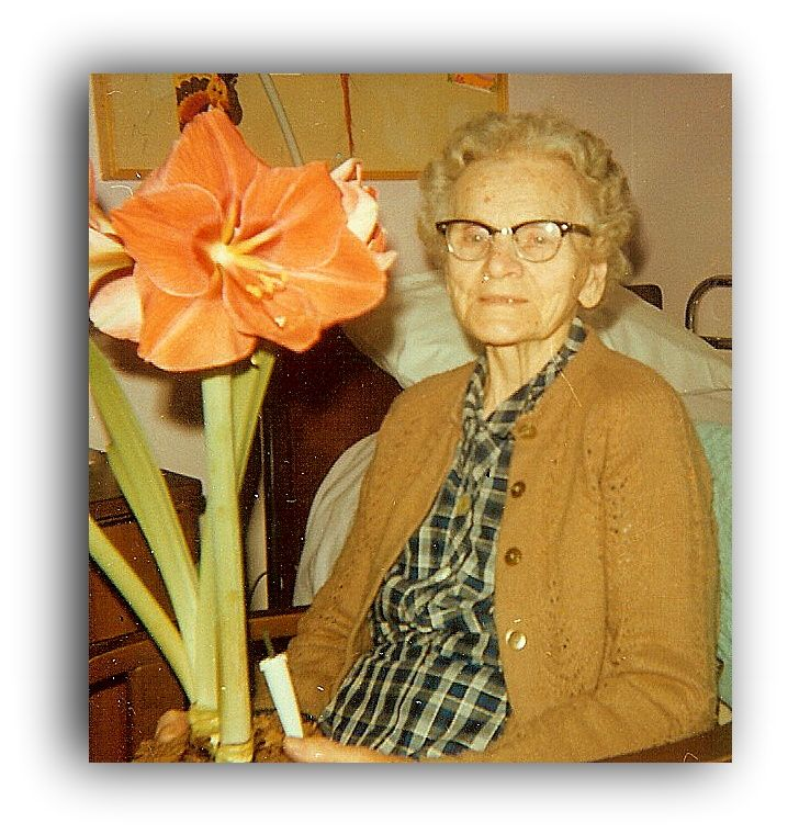 Gifts for Senior Citizens - Watching an Amaryllis flower bloom makes a wonderful gift for and elderly women.