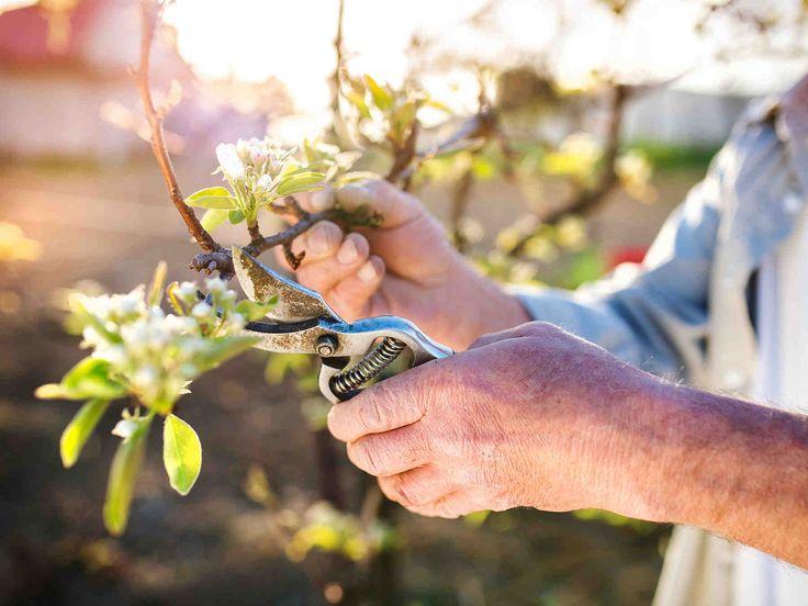 Omenapuulle vuosittain tehtävä hoitoleikkaus parantaa satoa. Samalla puun ulkoasu ja hyvinvointi kohenevat ja ikäkin pitenee. Vanhan omenapuun nuorennus...