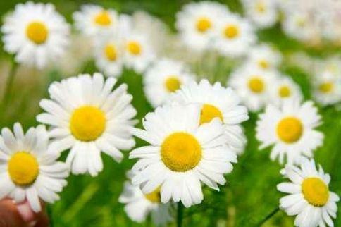 białe kwiaty - Szukaj w Google