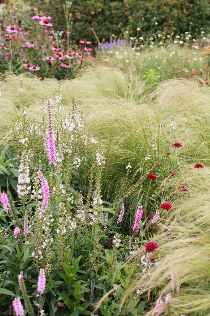 Grasses with veronica and scabiosa