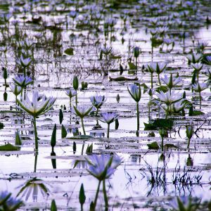 Water Lilies - Kruger National Park