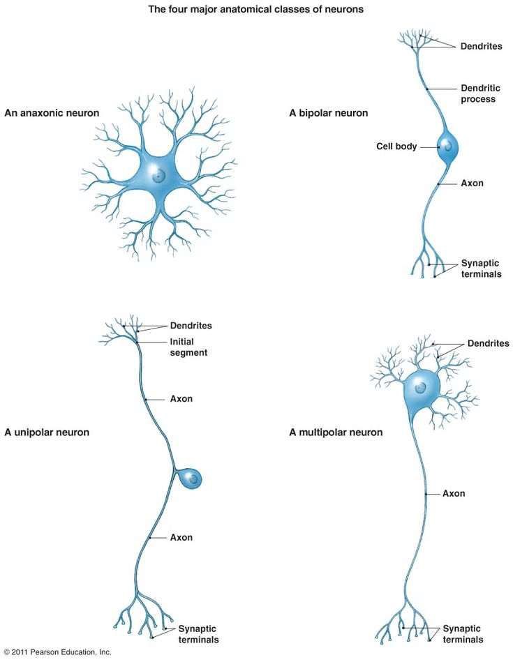 Four major anatomical classes of neurons