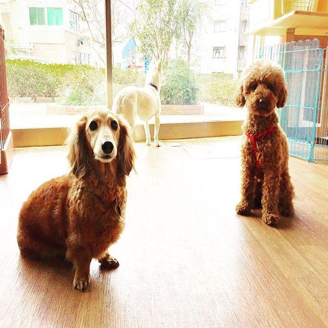 室内ドッグラン&カフェ【for dogs ぱうぜ】練馬区大泉学園 http://fordogspause.com 🌼🌼🌼🌼🌼 4月の土日🎶、トレーナー後藤&リブ、室内ドッグランにて常駐決定💙💛しつけのご相談ものってますよ🎶 -  カフェメニューも充実💕ワンちゃん同士のコミュニケーションを取りに遊びにいらして下さいね〜😘 お待ちしております╰(*´︶`*)╯♡ フォロー&いいね💕 ありがとうございます🤗 🍀🍀🍀🍀🍀🍀🍀🍀🍀🍀🍀 子犬パピートレーニングや成犬のしつけお悩み。 お気軽に御相談下さいね - 埼玉県、東京都近郊区出張可能 《libalive510@gmail.com 》 ドッグトレーニング◆リバライブ 🐾トレーナー後藤&LIB 第1種動物取扱業保管訓練第697号 -  #dachshund #dachs#犬 #ドッグトレーナー #ドッグトレーニング#dog #dogtrainer #ミニチュアダックスフンド#犬のしつけ ##さいたま市#犬の問題行動 #ダックス #パ#子犬#埼玉県 #浦和#ダックスフント…