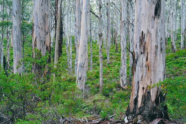Boranup Karri Forest - Margaret River - Australia