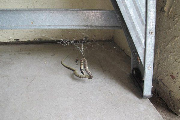 Giant Redback Spider Catches A Snake... The End Is Horrible