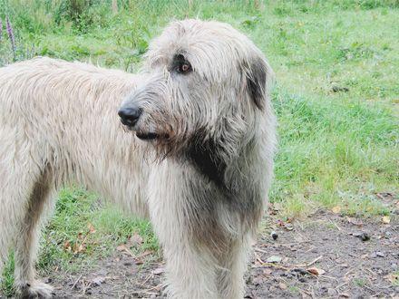 Conheça a Raça Wolfhound Irlandês