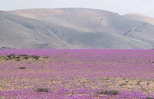 Пустинята Атакама в Чили се покри с цветя