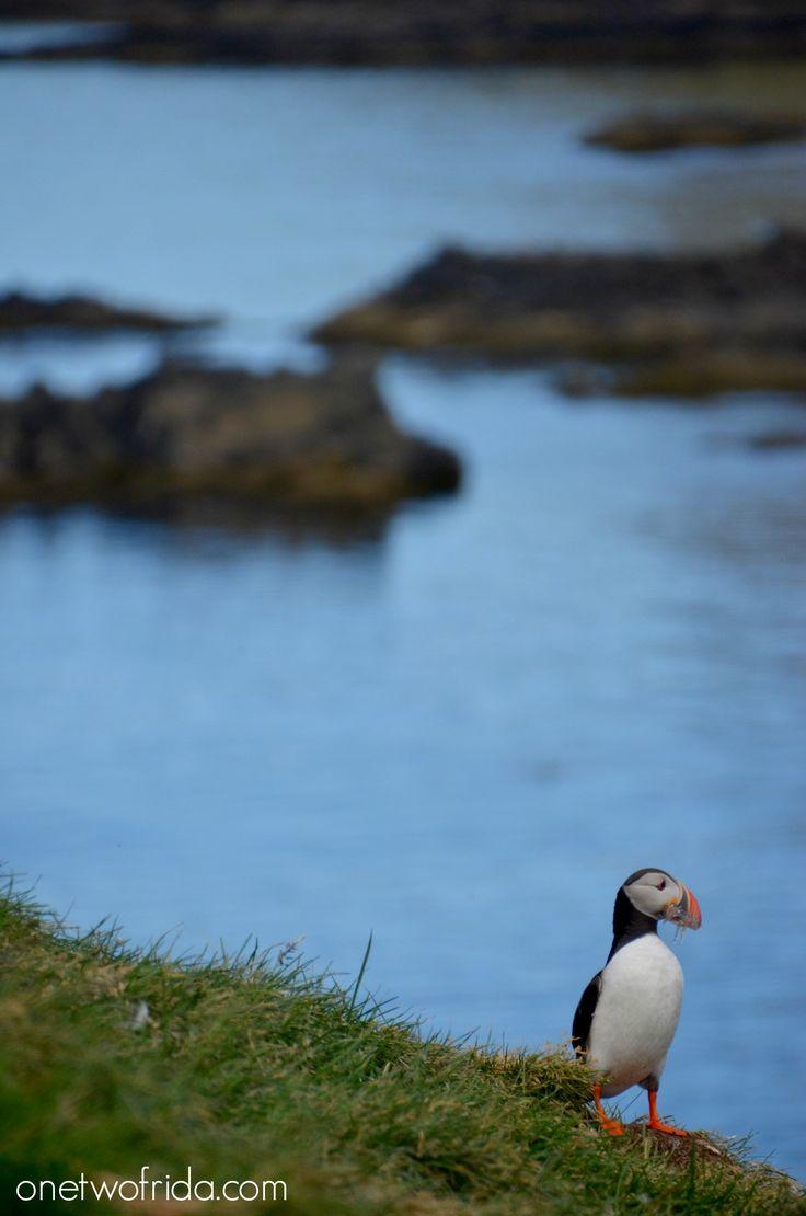 Puffin - Pulcinella di mare - Islanda