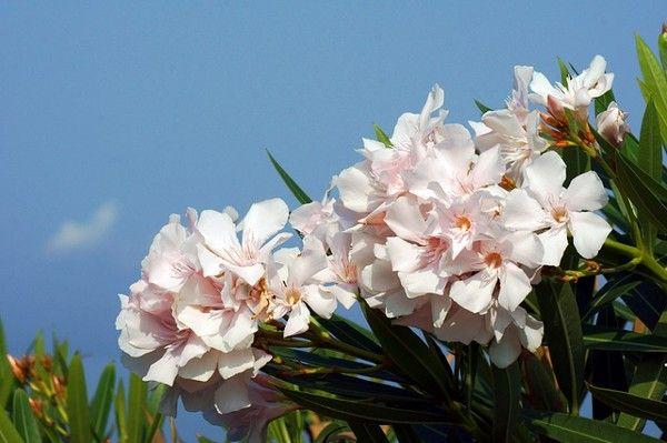 Oleander (Nerium) - uprawa, zimowanie i rozmnażanie