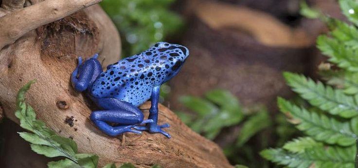 Todo lo que debes de saber sobre los anfibios venenosos - http://www.depeces.com/lo-debes-saber-los-anfibios-venenosos.html