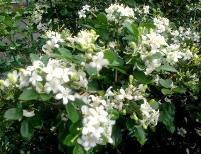 Bunga Kemuning Jepang Rimbun di Halaman